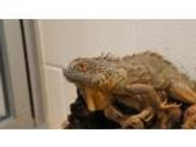 Adopt FLARES a Lizard reptile, amphibian, and/or fish in Boston, MA (25227592)