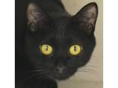Adopt Obsidian a All Black Domestic Shorthair / Domestic Shorthair / Mixed cat