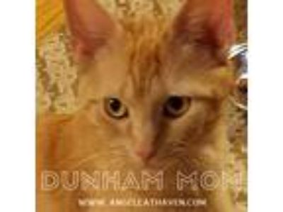 Adopt Dunham Mom a Orange or Red Domestic Shorthair (short coat) cat in