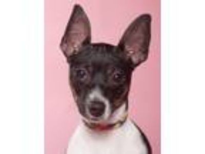 Adopt Baby Girl a Rat Terrier