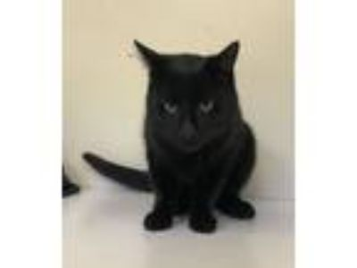 Adopt Black Jack a Domestic Short Hair