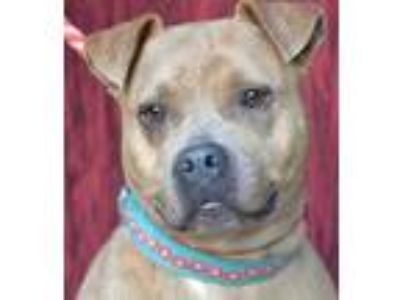 Adopt Samantha *Graduate* a Brown/Chocolate American Pit Bull Terrier / Mixed