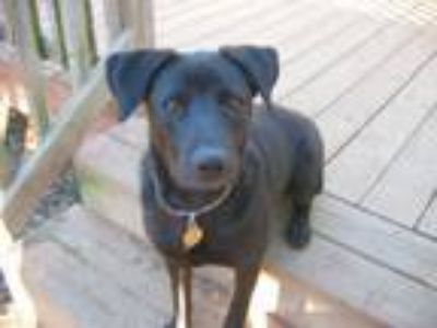 Adopt Link a Black Labrador Retriever