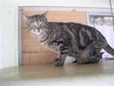 Adopt Scooby a Domestic Short Hair