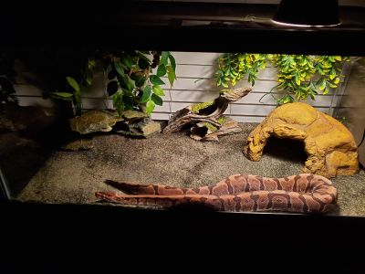 Ball python with cage and accessories