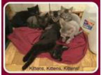 Adopt KITTENS -girls/boys a Domestic Short Hair