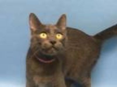 Adopt Kip a Gray or Blue Domestic Shorthair / Mixed cat in Golden Valley