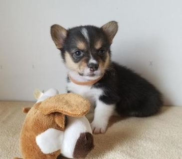 Pembroke Welsh Corgi PUPPY FOR SALE ADN-92793 - AKC Pembroke Welsh Corgi Pups
