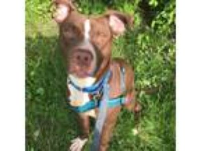 Adopt Ragnarok a Tan/Yellow/Fawn American Pit Bull Terrier / Mixed dog in