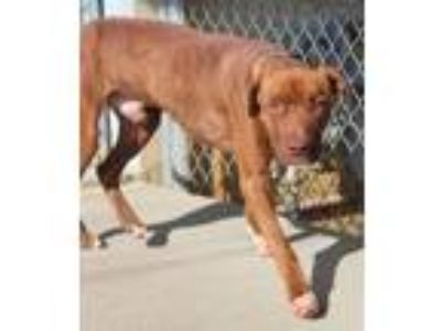 Adopt Rusty a Pit Bull Terrier / Mixed dog in Albany, GA (23932682)