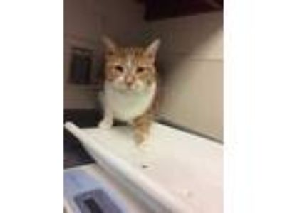 Adopt Streaky a White Domestic Shorthair / Domestic Shorthair / Mixed cat in