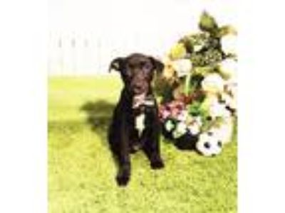 Adopt Moose a Black - with White Labrador Retriever / Mixed dog in Castro