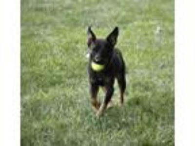 Adopt Lily the Mini Rotty! a Miniature Pinscher, Rottweiler