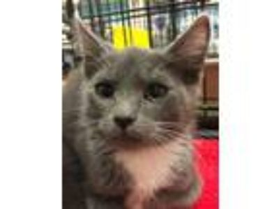 Adopt WILLIE a Domestic Short Hair
