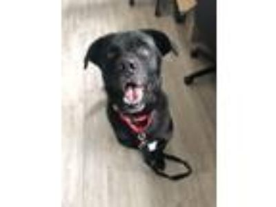 Adopt Bingo a Retriever (Unknown Type) / Labrador Retriever / Mixed dog in