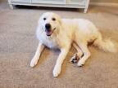 Adopt Prince a White Great Pyrenees / Mixed dog in Phoenix, MD (25877059)