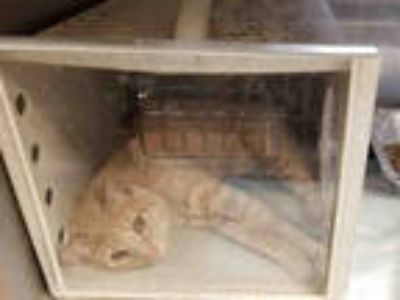 Adopt COPPER a Cream or Ivory Domestic Shorthair / Mixed (short coat) cat in