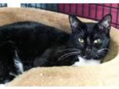 Adopt Domino a Domestic Shorthair / Mixed (short coat) cat in Lawrenceville