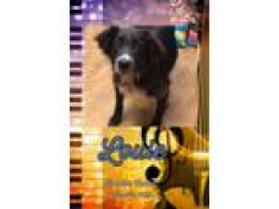 Adopt Louie a Black - with White Border Collie / Australian Shepherd / Mixed dog