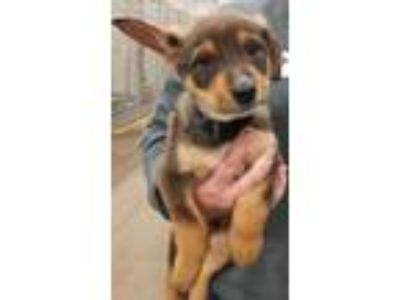 Adopt Justice a Shepherd, Mixed Breed