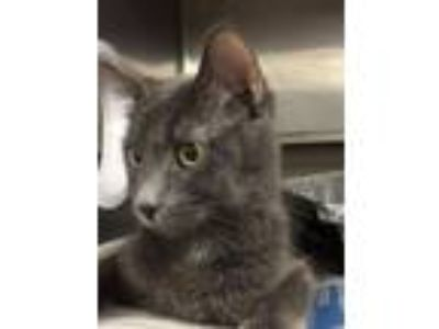 Adopt Riona a Domestic Short Hair, Russian Blue