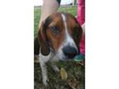 Adopt Seven Up a White Beagle / Basset Hound / Mixed dog in Clinton