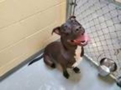 Adopt DJANGO a Black - with White American Pit Bull Terrier / Mixed dog in