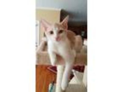 Adopt Aspen a White Domestic Shorthair / Mixed cat in Youngsville, NC (25447173)