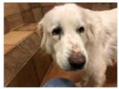 Adopt Ivory Bryn a Great Pyrenees