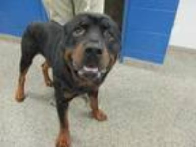 Adopt Max a Black Rottweiler / Mixed dog in Jacksonville, NC (25544575)