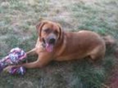 Adopt Chubs a Red/Golden/Orange/Chestnut Labrador Retriever / Mastiff / Mixed