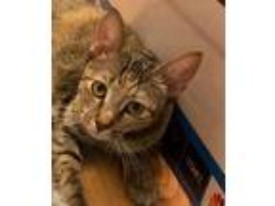 Adopt Baybee a Brown Tabby Domestic Shorthair / Mixed (short coat) cat in Fort