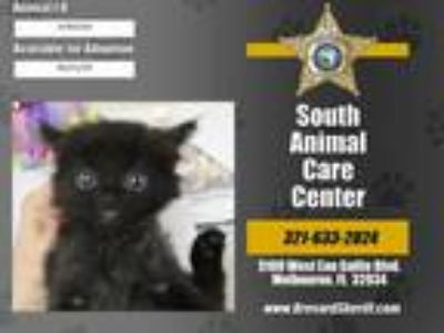 Adopt CORDEL a All Black Domestic Mediumhair / Mixed (medium coat) cat in