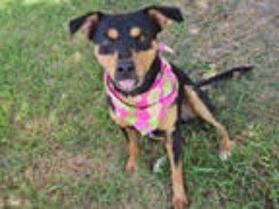 Adopt RICOCHET a Black - with Brown, Red, Golden, Orange or Chestnut Rat Terrier