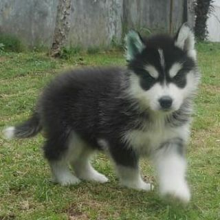 CKC registered Siberian Husky Puppies