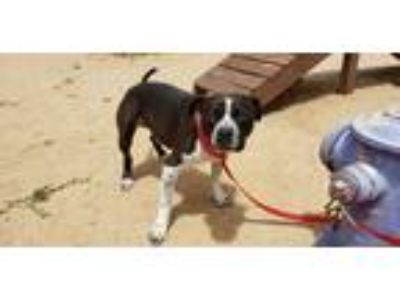 Adopt Leo a Black - with White Pit Bull Terrier / Mixed dog in California City