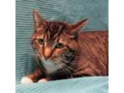 Adopt 19-c04-011 Chester a Tabby, Domestic Short Hair