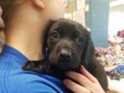 Adopt JACKIE a Black - with White Labrador Retriever / Mixed dog in St.