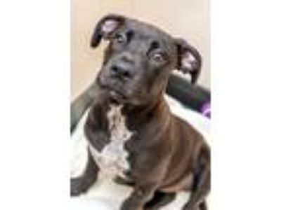 Adopt MAGGIE a Labrador Retriever / Pit Bull Terrier / Mixed dog in Redwood
