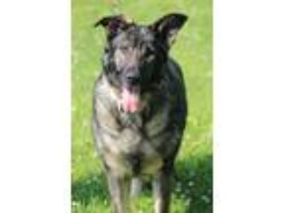 Adopt Celia a Brown/Chocolate - with Black German Shepherd Dog / Mixed dog in