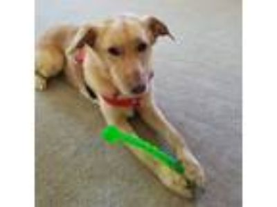 Adopt Spike a Tan/Yellow/Fawn - with White Labrador Retriever / German Shepherd