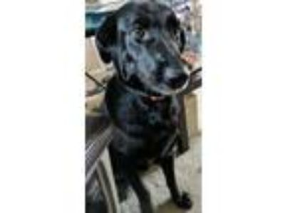 Adopt Sheba a Black Labrador Retriever