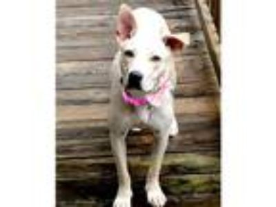 Adopt Audria a White - with Tan, Yellow or Fawn Labrador Retriever / Mixed dog