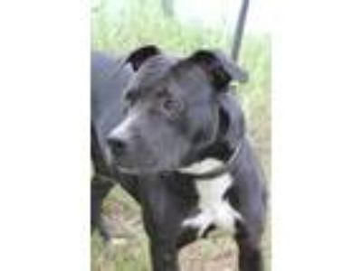 Adopt Tess a American Staffordshire Terrier, Pit Bull Terrier