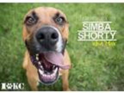 Adopt Simba Shorty 'Max' a Tan/Yellow/Fawn Boxer / Mixed dog in Mission