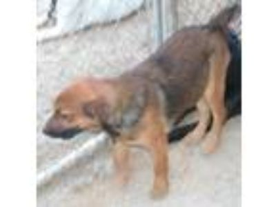 Adopt Ace a Wirehaired Terrier, Shepherd