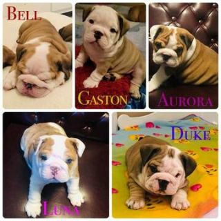 Bulldog PUPPY FOR SALE ADN-113207 - ENGLISH BULLDOG