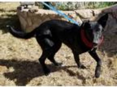 Adopt Molly a Black - with White Shepherd (Unknown Type) / German Shepherd Dog /