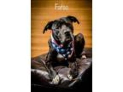 Adopt Fatso a Black Boxer / Labrador Retriever / Mixed dog in North Myrtle