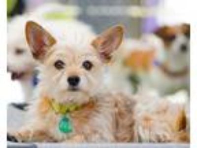 Adopt BUNNY a Yorkshire Terrier, Terrier